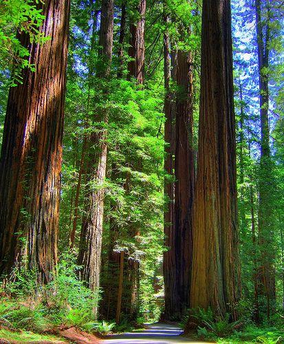 california redwoods   the giants of God's creation