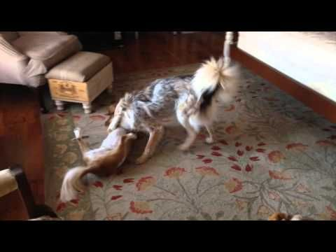 RIO - a Cavalier King Charles Spaniel, and DAKOTA, an Australian Shepherd Mix, engaging in a wrestling match during their Thanksgiving stay at the B&B.