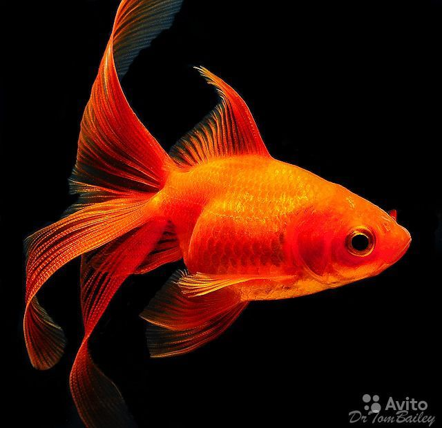 106 best images about goldfish on pinterest swarovski for Koi fry pool