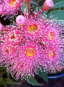 Kingdom of the flowres kung.ƃunʞⓚⓤⓝⓖƃunʞ Corymbia Summer Beauty