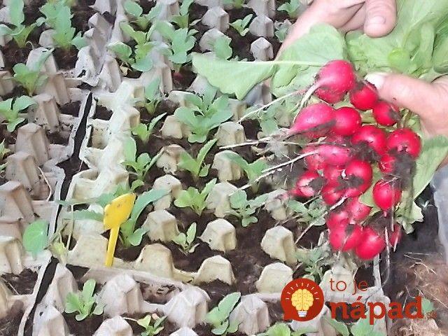 Ešte stále to stíhate – vysaďte celoročnú, alebo zimnú reďkvičku. Rastie rýchlo a nevadia jej ani nižšie teploty a skracujúce sa dni. Vďaka zlepšováku skúseného záhradkára porastie rýchlo a nemusíte sa o ňu takmer vôbec starať!