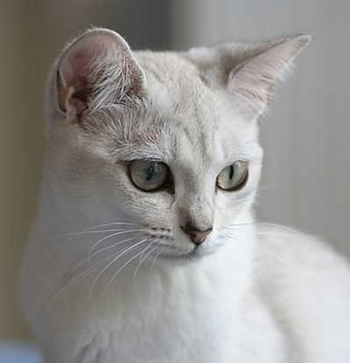 Burmilla beauty - originates from burmese and chinchilla persian