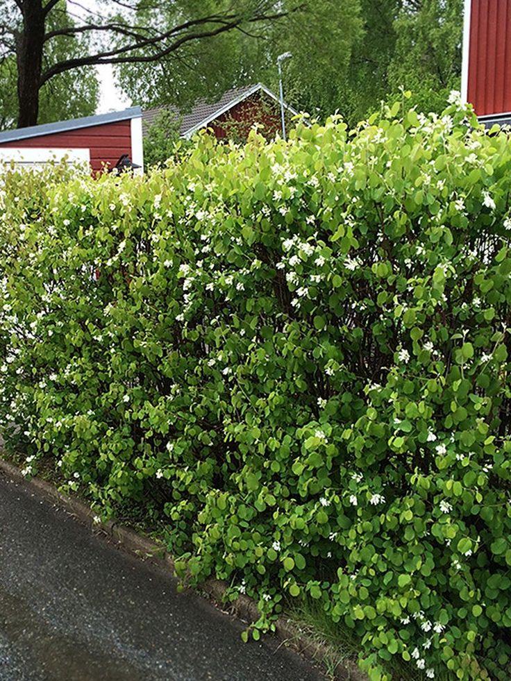 Bärhäggmispel, Amelanchier alnifolia fk. Alvdal E | Blir en 2.5-3 meter hög och 1.5 meter bred buske. Upprätt rundat växtsätt. Grönbladig buske som får en klargul höstfärg. Vita blommor i maj. Riklig fruktsättning. Blåsvarta ätliga bär som kan användas till gelé, sylt eller saft. Bärhäggmispel passar bra som friväxande eller klippt häck, solitär, vind- och insynsskydd eller som bärbuske. Planteras 3 st per meter. Zon 1-6.