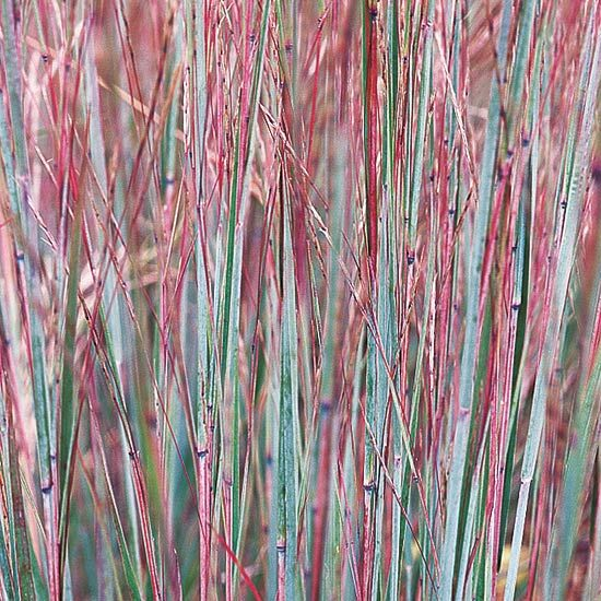 A lovely, tough-as-nails prairie native, little bluestem offers gray-green leaf blades that turn bold shades of purple, red, and orange in autumn. Name: Schizachyrium scoparium Growing Conditions: Full sun and well-drained soil Size: To 3 feet tall Zones: 4-9 Plant This Grass Because: It has beautiful blue coloring in summer and good fall color. Native to North America: Yes/
