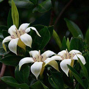 Rothmannia Capensis         Wild Gardenia/Common Rothmannia      Wildekatjiepiering            14-20 m       S A no 693           Rare Tropical Plants