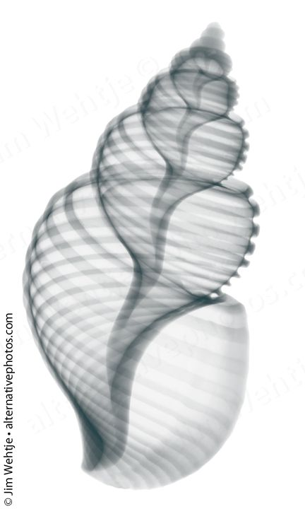 These kind of pictures could be amazing tattoos! X-ray photos of seashells and starfish. by Jim Wehtje, via Behance