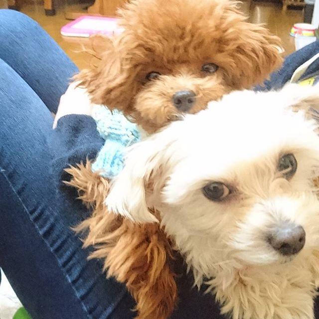 アムバニ❤ バニたんの上って眠くなるにゃ~💕 * いつもこの調子で寝てるよ😳 * #アム #ティーカッププードル #トイプードル #ミックス犬 #チワマル #マルチーズ #チワワ #多頭飼い #犬 #子犬 #愛犬 #east_dog_japan #instagramdogs #instapet #toypoodle #teacuppoodle #lovedogs #dog #dogstagram #ilovemydog #cutedog #puppylove #maltese #chihuahua  #말티즈 #푸들 #멍멍이 #애완견 #pawsforjolie