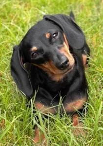 The 2107 best WEENS images on Pinterest | Dachshund dog, Dachshunds ...