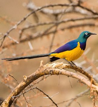 Golden-breasted Starling in Smburu, Kenyya, by © Francesco Veronesi, via www.wheretowatchbirdsandotherwildlifeintheworld.co.uk