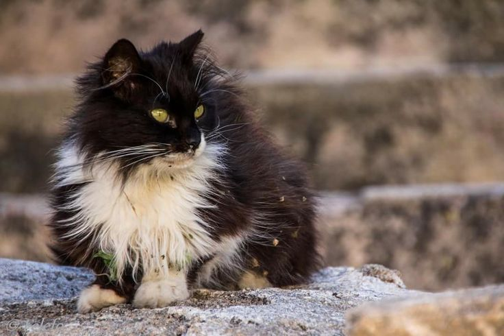 The cats of Greece, Rhodos