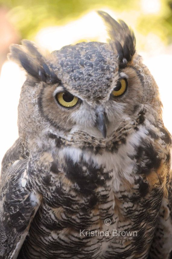 Items Similar To Great Horned Owl Bird Photography   Wildlife Nature Fine  Art Print   Woodland Owl Wall Decor   Bird Picture On Etsy