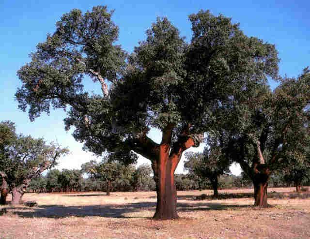 alcornoque: es un árbol que necesita inviernos suaves, cierta humedad y suelos silíceos. Su madera, muy dura, se aprovecha para la realización de toneles y barcos, y su corteza, para la obtención de corchos. Se encuentra en el suroeste peninsular, aunque también hay en el sur de Andalucía, en el noreste Cataluña y en Castellón.