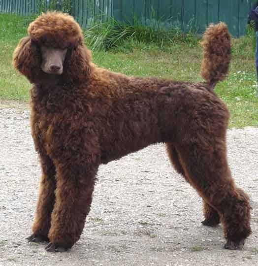 Our Large Standard Poodles - Royal
