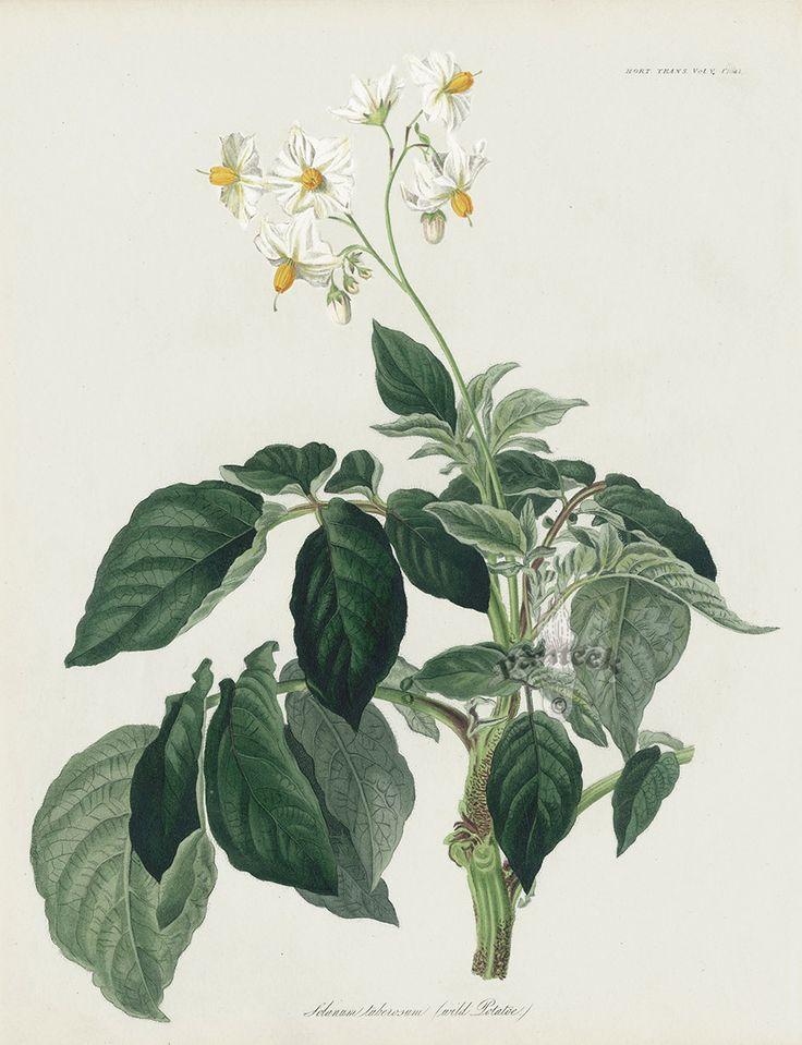 Native Wild Potato Solanium Tuberosum 2 Prints Black White One Not Shown