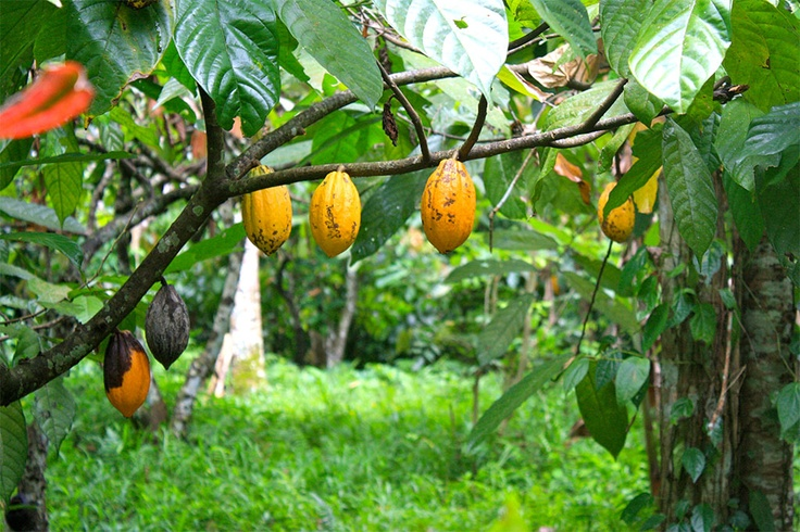 Cacao Tree With Pods The Cacao Pods Look Like Small
