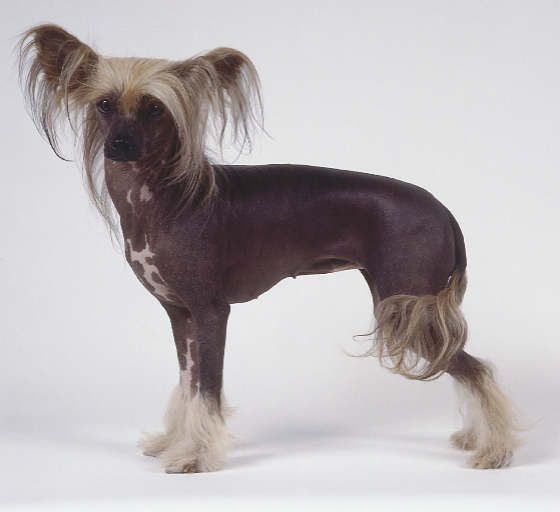 Also love Chinese Crested dogs.... They look so funny it makes them cute!