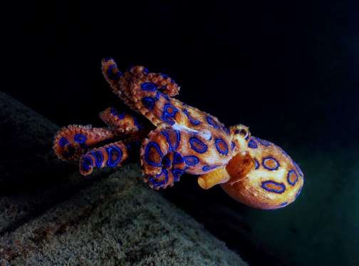 Blue-ringed octopus = Found in tide pools and coral reefs in the Pacific and Indian Oceans, from Japan to Australia. = 22 scary underwater creatures