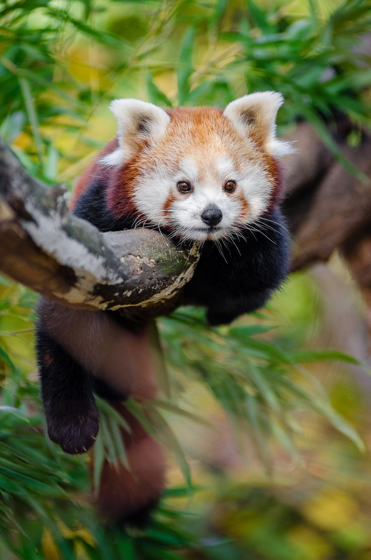 """The Chinese name for the red panda is """"hun-ho,"""" meaning """"fire fox."""" 