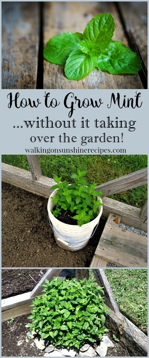 How to Grow Mint in the Garden without it taking over from Walking on Sunshine