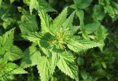 Konopí, více známé jako marihuana, je používáno jako lék již po mnoha staletí. V současnosti je spíše známé svými uklidňujícími účinky a sloučeninami.