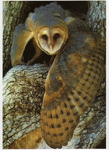 winged barn owl--and what a wing!