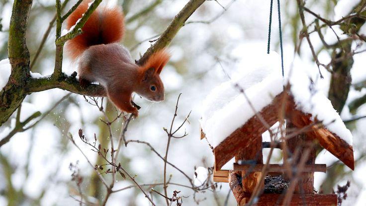 - Um esquilo vermelho é visto em um árvore ao lado de um alimentador de pássaros, em Berlim, na Alemanha. Foto: Hannibal Hanschke / Reuters