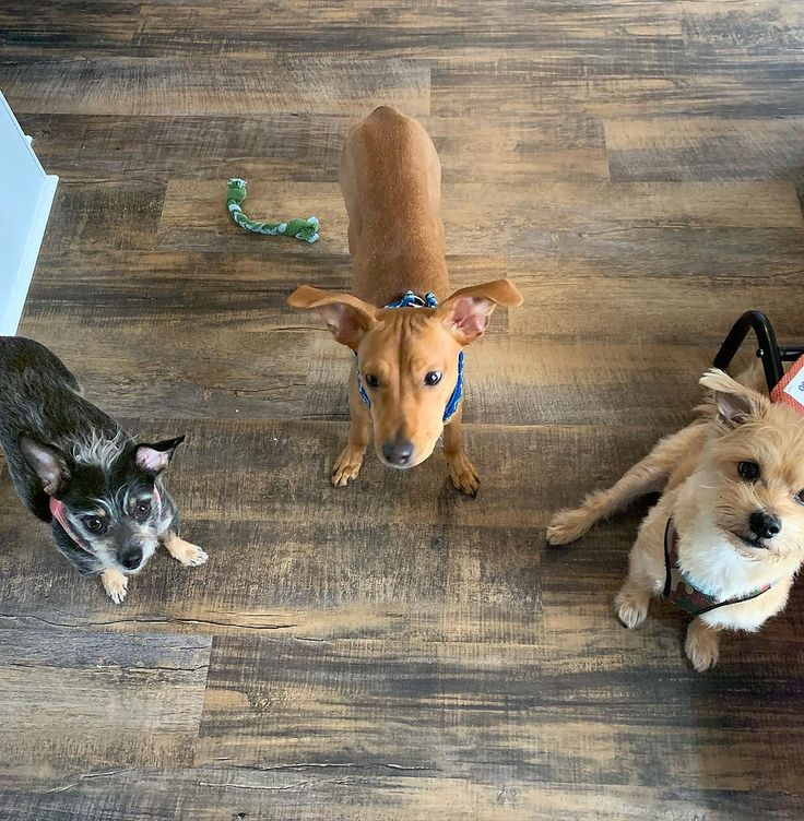 Small Dog Daycare Raleigh Little Pup Lounge Raleigh