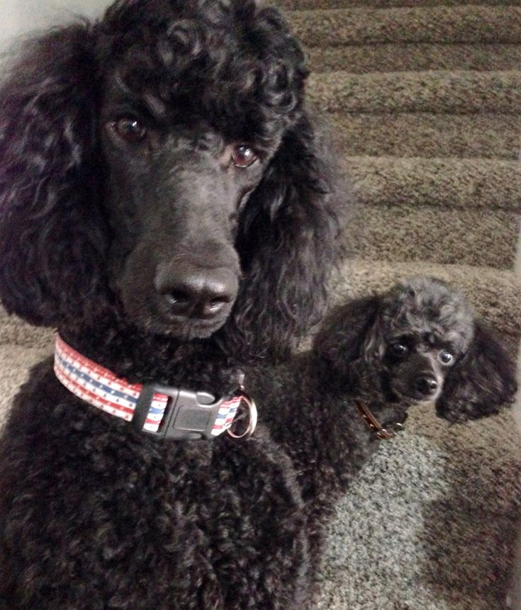 Poodle photobomb! We have many of these