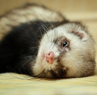 10 things you don't know about ferrets...