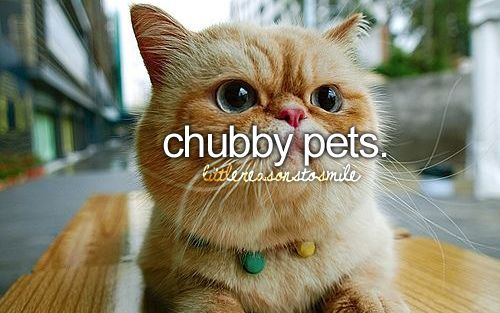 cuties :): Chubby Cat, Exotic Shorts, Girly Things, Fat Cat, Exotic Cat, Exotic Shorthair, Persian Cat, Shorthair Cat, Ginger Cat