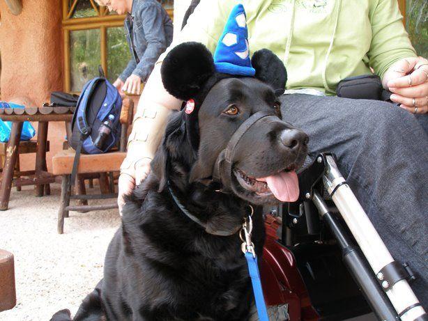 Service dog at Disneyland.Kanojo Pets, Dogs Disney, Baby Dogs, Service Dogs, Dogs Life, Disneyland 3, Dogs Love, Black Labrador, Labrador Service