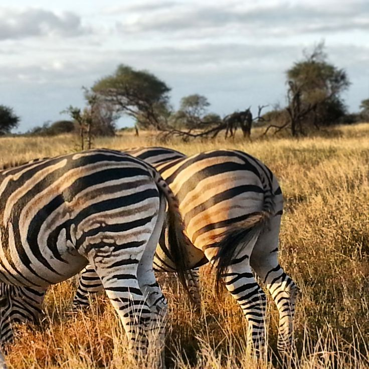 Zebras grazing in Kruger National Park, South Africa