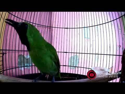 Masteran Cucak Ijo Agar Gacor Burung