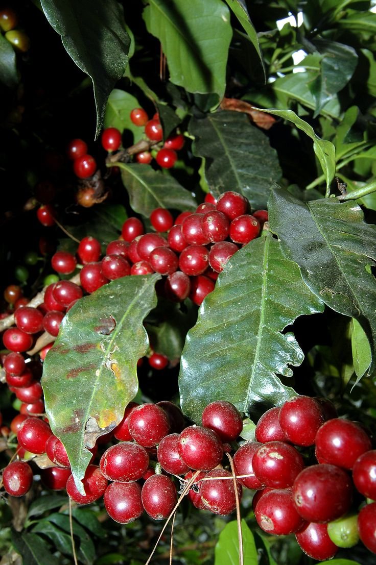 very nice coffee harvest. Picture taken in Colombia - Popayan.