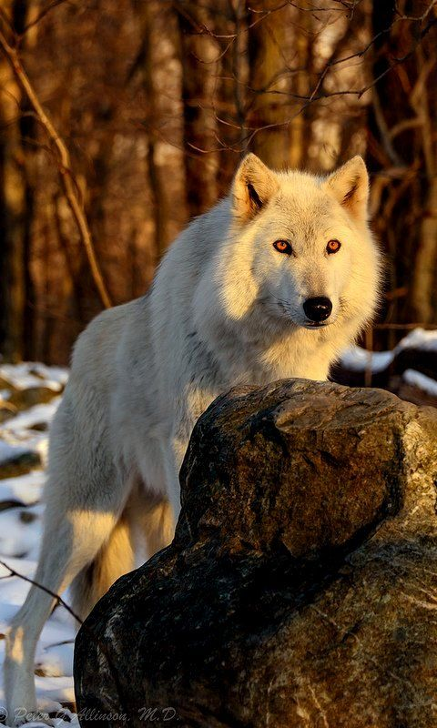 White Wolf (by Critidoc on Flickr)