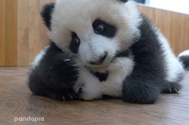 "#panda #pandas #cub ""I heard you...you can't breathe. But I just LOVE you sooooo much!"""