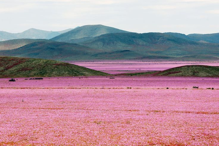 One of Earth's driest places is now a pink flower wonderland - Parts of Chile's Atacama Desert one of the driest places on Earth look like a psychedelic wonderland as pink mallow flowers bloom in the valley following a year of unprecedented rain.  Massive downpours in March gave parts of the desert its first taste of rain in almost seven years.