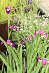 Iris versicolour Kermesina - Plants