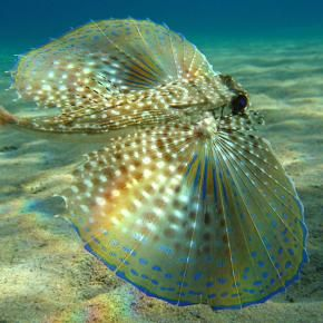 Butterfly-fish (Dactylopteridae) A flying gurnard (Dactylopterus volitans) in the Mediterranean east of