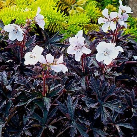 Bodziszek łąkowy 'Purple Ghost' Geranium pratense