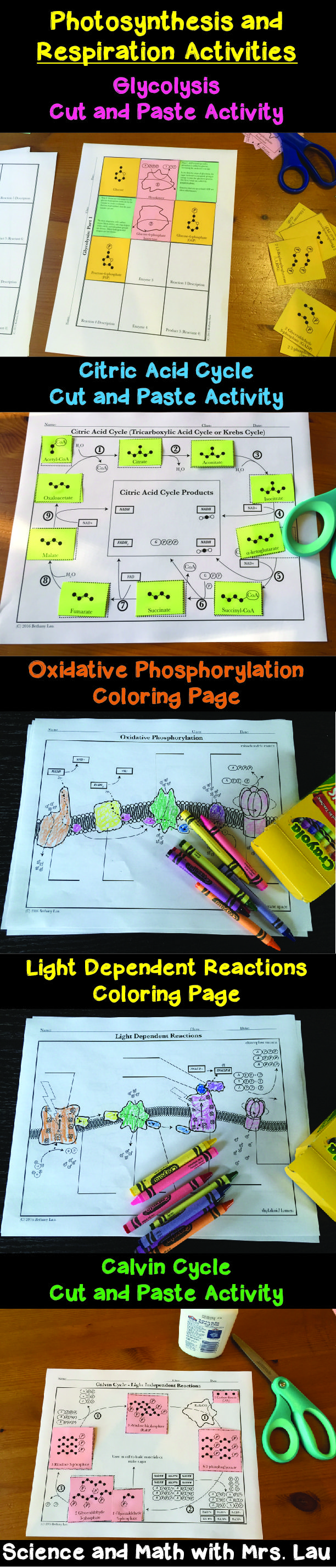 Photosynthesis and Respiration Activities for High School Biology: Coloring Pages and Cut-and-Paste Activities for Glycolysis, Citric Acid Cycle, Oxidative Phosphorylation, Light Reactions, and the Calvin Cycle! Science and Math with Mrs. Lau
