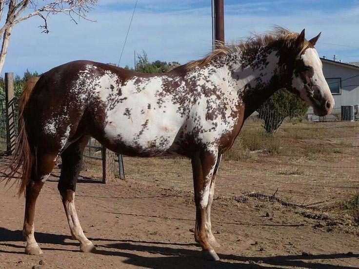 Sabino overo | Paint/Pinto Horses | Pinterest