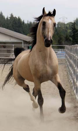 Buckskin named Xtreme Tradition. My favorite coloring next to palomino. I want one so bad!!!!