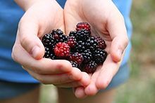 An old legend holds that it's unlucky to pick blackberries after Michaelmas, so incorporate the fruit into your Michaelmas celebration if you fear bad luck!