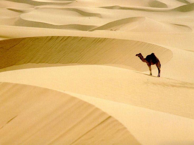 beautiful camel wallpaper