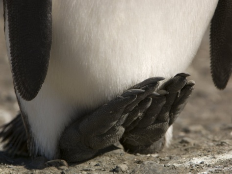Detail of a King Penguins Feet Photographic Print by Tom Murphy at Art.com