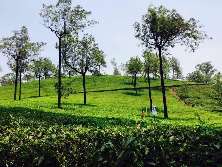 The tea Gardens of Munnar.. #kerala #traveling #travel #journey #alokbhartia #alokbhartiachairman #alpanabhartia #teagardens #serene #shivanginibhartia