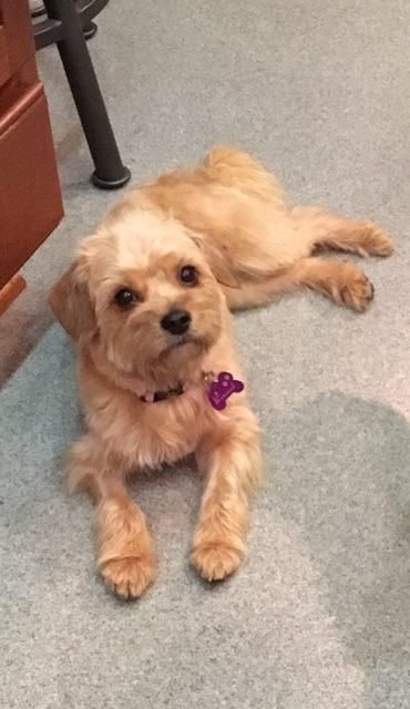Ellie is an adoptable Yorkshire Terrier Yorkie searching for a forever family near Rancho Santa Margarita, CA. Use Petfinder to find adoptable pets in your area.