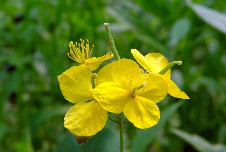 애기똥풀, Chelidonium  majus  var. asiaticum  (HARA)  OHWI