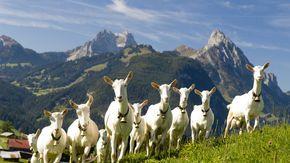 Lambs. Summer in Gstaad #summer #alpine #alpinesummer #switzerland #gstaad #leolovesgstaad #moutains #alps